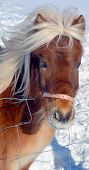 stock photo of breed horse  - The Icelandic horse is a breed of horse developed in Iceland - JPG