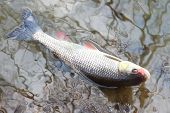 stock photo of chub  - Catch of fish - JPG
