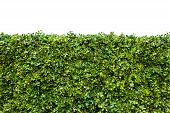 picture of fetus  - Horizontal shot of green hedge with fetus isolated on white background - JPG