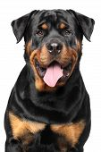 Portrait Of A Purebred Rottweiler poster