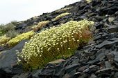 picture of chukotka  - Saxifraga - JPG
