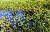 image of day-lilies  - Small pond with water lilies and grassy summer sunny day  - JPG