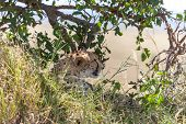 picture of veld  - the cheetah in big tree - JPG