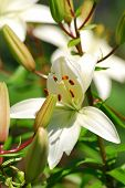 picture of asiatic lily  - A stunning white Asiatic Lily - JPG