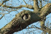 stock photo of kensington  - Adult Little Owl roosting in hole in tree - JPG