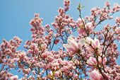 stock photo of magnolia  - Magnolia tree blossom - JPG