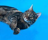 stock photo of blue tabby  - Tabby kitten teenager lying on blue background - JPG