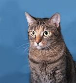 foto of blue tabby  - Tabby nice cat sitting on blue background - JPG