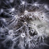 stock photo of dandelion seed  - Extreme macro closeup of dandelion seeds over black background with water drops - JPG
