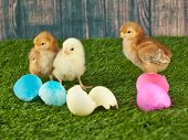 foto of ester  - Three baby chicks standing next to ester eggs in the grass with a wooden fence behind them - JPG