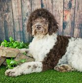 picture of standard poodle  - Standard Poodle laying in the grass with a wood fence behind him - JPG