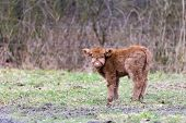 pic of highland-cattle  - Looking newborn brown scottish highlander calf in spring meadow - JPG