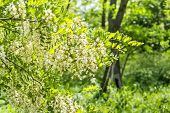 picture of locust  - Flowering branch of locust close up in green grove on a sunny spring day - JPG