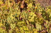 pic of prickly-pear  - Green Prickly Pear Cactus Leaf in the Desert - JPG