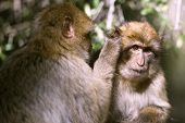 pic of gibraltar  - Barbary macaque in Gibraltar the only place in Europe to live in freedom - JPG