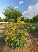 image of chrysanthemum  - Yellow wild chrysanthemums  - JPG
