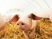 stock photo of piglet  - One young piglet on hay and straw at pig breeding farm - JPG