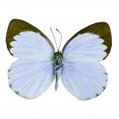image of blue butterfly  - Blue butterfly Delias butterfly  - JPG