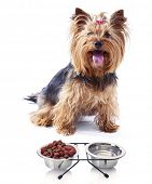 pic of yorkshire terrier  - Cute Yorkshire terrier dog with food isolated on white - JPG