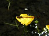picture of buttercup  - Large Red Damselfly resting on a buttercup - JPG