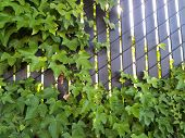picture of ivy  - Ivy growing on a fence with sunlight shining from behind - JPG