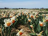 picture of jonquils  - Taken in the Netherlands close to Lisse. ** Note: Visible grain at 100%, best at smaller sizes - JPG