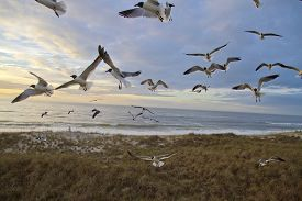 image of flock seagulls  - A colony of seagulls flying chaotically and making a cocophony of sounds as they fly over a scenic beach with a lone distant ocean gazer at dawn - JPG