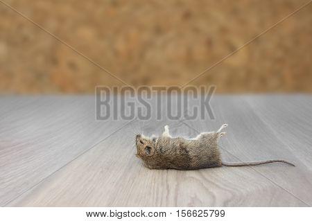 Closeup dead mouse