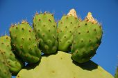 foto of nopal  - Close up of a prickly pear cactus plant growing at Emborio on the Greek island of Halki - JPG