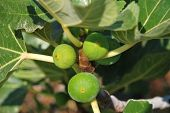 Green figs, Halki island