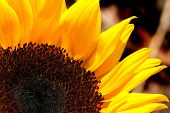 Sunflower (Helianthus Annuus) In The Garden