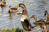 A Mallard Drake Flapping His Wings As He Grows New Flight Feathers During Moulting poster