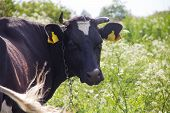 An Incredibly Beautiful Cow Grazing On A Summer Green Meadow. Feeding And Breeding Of Cattle. Farm A poster
