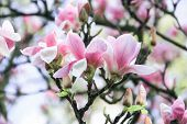 Inflorescence Of A Gentle Bush Of Pink Magnolia Flowers On A Pink Background, A Bush Of Pink And Whi poster