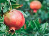 Close Up View Of Ripe Colorful Pomegranate Fruit On Pomegranate Tree. Organic Pomegranate On Branch. poster
