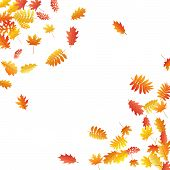 Oak, Maple, Wild Ash Rowan Leaves Vector, Autumn Foliage On White Background. Red Gold Yellow Wild A poster