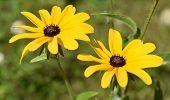 Pretty Pair Of Blooming Black Eyed Susan Flowers In Bloom. poster