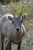 Mountains Goat (oreamnos Americanus) Also Known As The Rocky Mountain Goat Is A Large Hoofed Mammal poster
