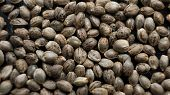 Marijuana Seeds Close-up. Healthy Cannabis Seeds For Millenial People poster