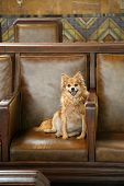 cute dog on a leather chair. Cute small dog relaxes on a brown leather chair and smiles. no leash poster