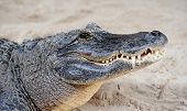 foto of gator  - Alligator closeup on sand in Gator Park in Miami - JPG