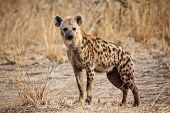 stock photo of nocturnal animal  - portrait of spotted hyena in luangwa national park zambia - JPG