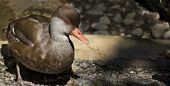 picture of crested duck  - A  Red Crested Pochard Duck with a rock background - JPG