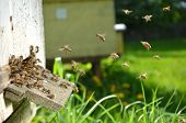 stock photo of drone  - Plenty of bees at the entrance of beehive in apiary in the springtime - JPG