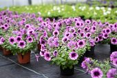 Greenhouse With Blooming Petunia Flowers