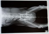 X-ray from dog in negative