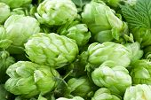 stock photo of hop-plant  - Hop cones as a green background - JPG