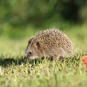 Little Hedgehog Looking At You
