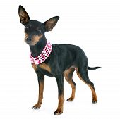stock photo of miniature pinscher  - purebred miniature pinscher in front of white background - JPG