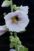 stock photo of hollyhock  - Closeup on a bumblebee on a hollyhock flower - JPG